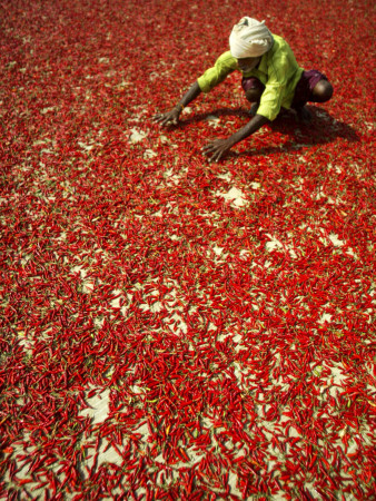 Villager Dries Red Chilies at Rambha, India