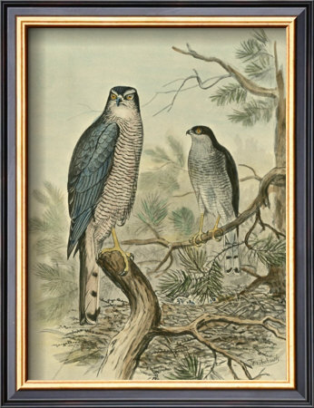 Sparrow Hawk Framed Art Print