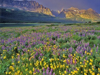 Meadow of Wildflowers in the Many Glacier Valley of Glacier National Park, Montana, USA Posters