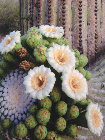 Detail of White and Peach Blooms on ...