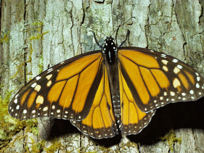 Monarch Butterfly Clings to Tree Bark
