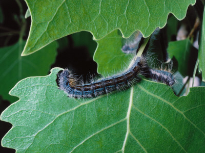 Tent Caterpillar Crawls on a Leaf