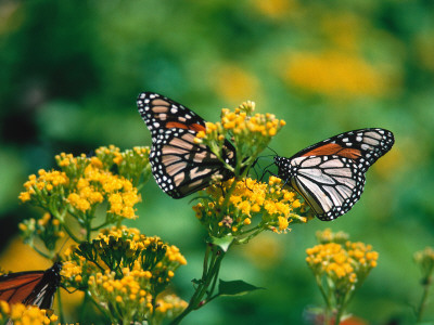 Two Monarch Butterflies Perched on a Yellow Flower