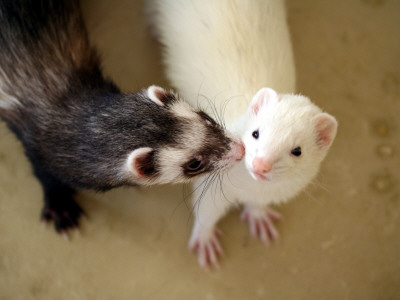 Ferret Kissing Ferret