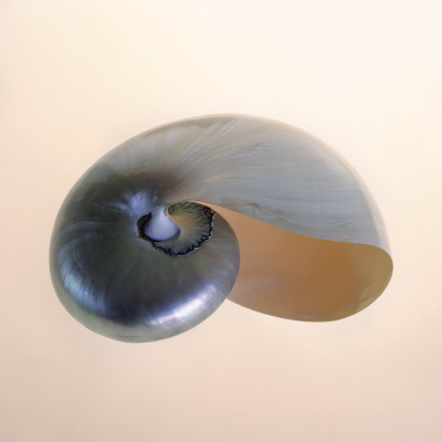Polished Nautilus