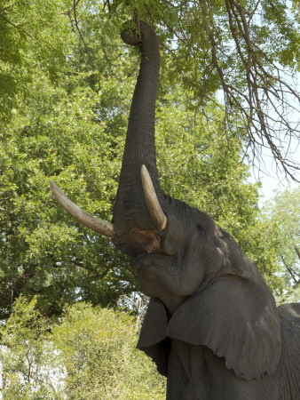 An African Elephant Reaching Up to Feed on Upper Branches of Tree