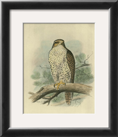 Iceland Falcon Framed Art Print