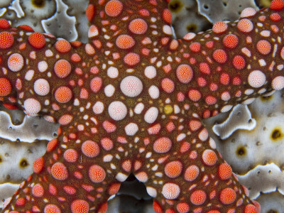 Partial View of Colorful Sea Star Over a Sea Cucumber, Raja Ampat, Indonesia