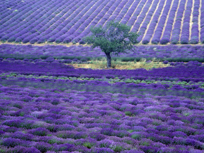 Lavender Fields, Vence, Provence, France