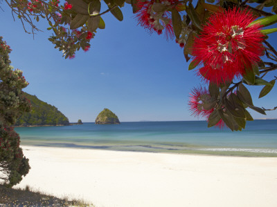 Pohutukawa Tree in Bloom and New Chums Beach, Coromandel Peninsula, North Island, New Zealand