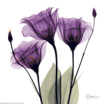Royal Purple Gentian Trio - Art Print