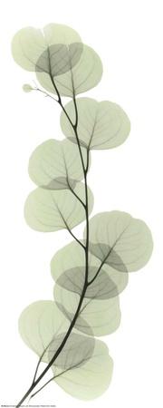X-Ray Eucalyptus Branch I Art Print