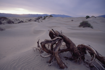 Death Valley Tree, California