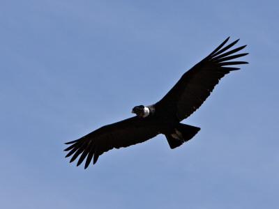 Colca Peru Canyon Condor