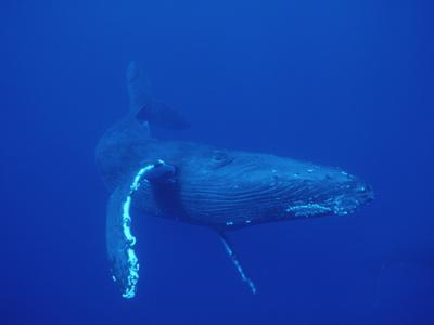 Humpback Whale (Megaptera ...