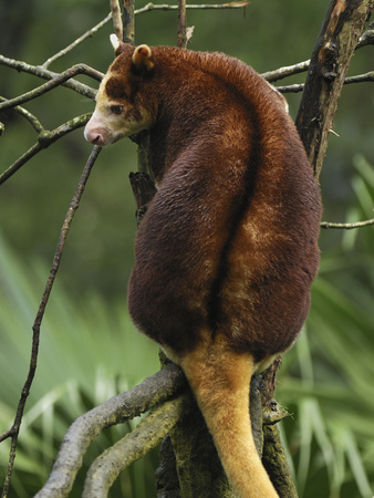 Matschie's Tree Kangaroo (Dendrolagus Matschiei), Exclusively in Huon Peninsula of Papua New Guinea