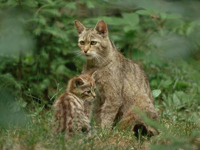Europäische Wildkatze mit Jungtier