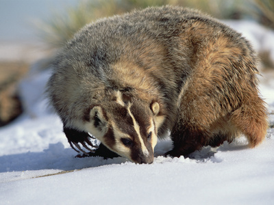 American Badger (Taxidea Taxus) Colorado
