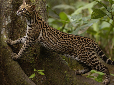 Ocelot (Felis Pardalis) Climbing on Buttress Root, Amazon Rainforest, Ecuador