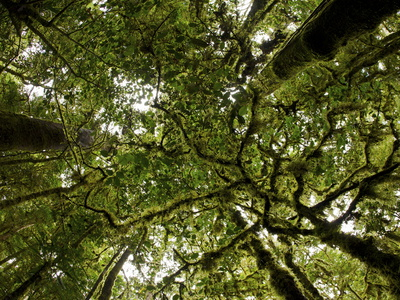 Moss-Covered Rain Forest in New Guinea's Foja Mountains