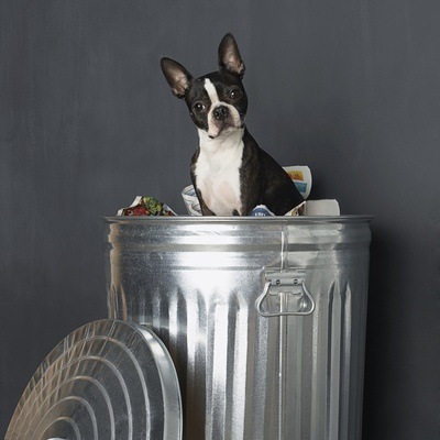 Boston Terrier Sitting in Garbage Can