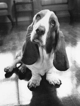 Basset Hound, B/W