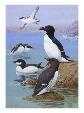 A Painting of Razor-Billed Auks and Murres
