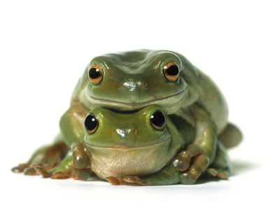 One Frog on Top of Another, White Background
