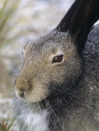 Artic Hare (lepus Articus) in Summer, Churchill Manitoba, Canada