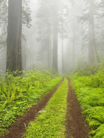 Old forest road running through towering redwood trees