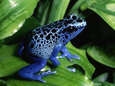 Blue-Poisondart Frog