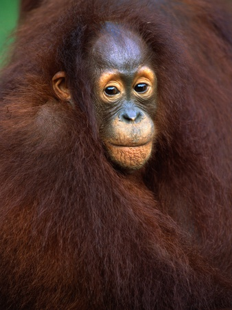 Young Orangutan in Mother