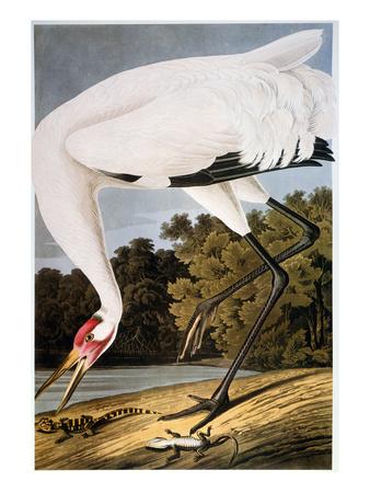 Audubon: Whooping Crane