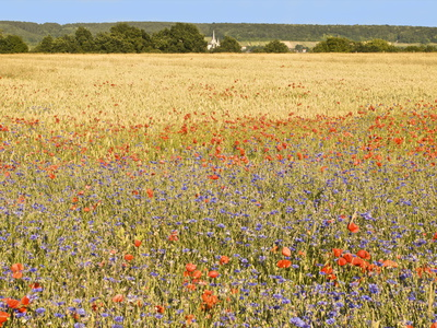 Corn Fields With Poppies and Cornflowers, Normandy, France, Europe