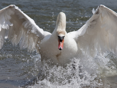 Mute Swan (Cygnus Color), Taking Off, Abbotsbury Swannery, Dorset, England, United Kingdom, Europe
