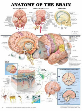 Anatomy of the Brain Anatomical Chart Poster Print
