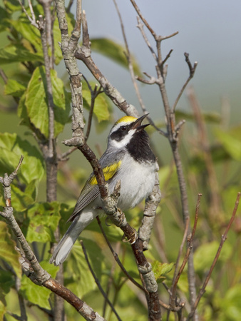 A Golden-Winged Warbler (Vermivora Chrysoptera) Singing on a Branch, Ontario, Canada
