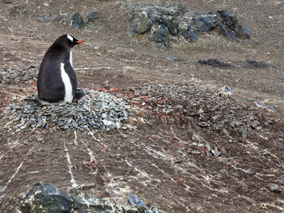 Gentoo Penguin on the Nest (Pygoscelis Papua), Livingston Island, Antarctica
