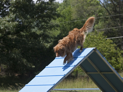 Nova Scotia Duck Tolling Retriever Practicing Agility on an A-Frame