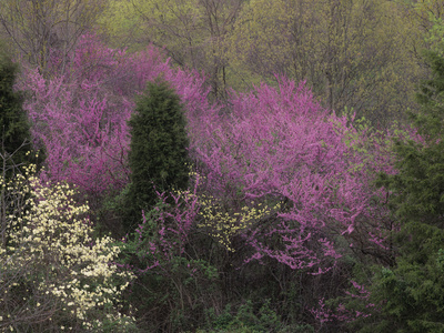 Dogwood Trees, Cornus Florida, and Eastern Redbud, Cercis Canadensis, Flowering in the Spring