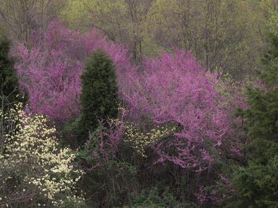 Dogwood Trees, Cornus Florida, and Eastern Redbud, Cercis Canadensis, Flowering in the Spring