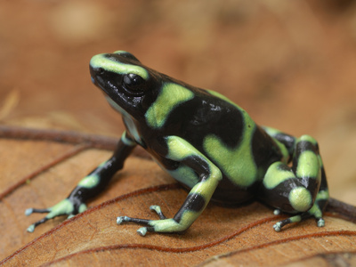 Green and Black Poison Frog (Dendrobates Auratus), Corcovado National Park, Costa Rica