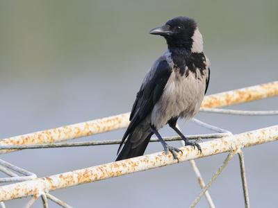Krähen Unglücksvögel Rabeneltern Und Nesträuber