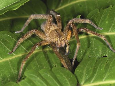 Wolf Spider (Lycosidae), San Cipriano Reserve, Cauca, Colombia