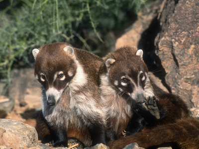 White-Nosed Coati (Nasua Narica), Sonora Desert, Arizona, USA