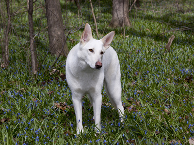White German Shepherd in Spring Flowers, Illinois