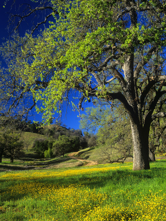Oaks and Flowers, California, USA