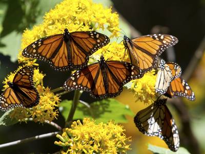 Monarch Butterflies, Danaus Plexippus, Resting on a Flower
