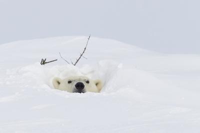 Polar Bear (Ursus Maritimus) ...