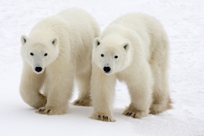 Pair of Adolescent Polar Bear Cubs